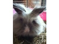 Lion Head Long Haired Lovely Female Rabbit With Indoor Cage
