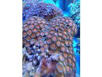 MARINE FISH / NICE SIZE ZOA COLONY, GREAT COLOURS