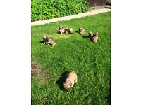 10 french bulldog puppys for sale kc registered top kennel lines