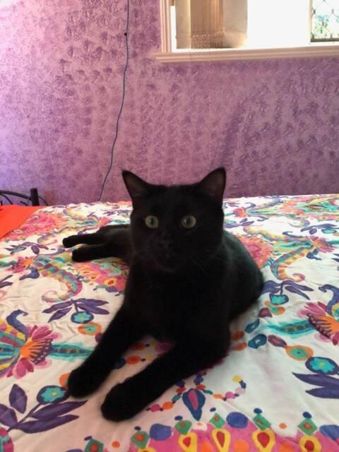 Phoenix - KITTEN KAPERS RESCUE   Cats & Kittens   Gumtree