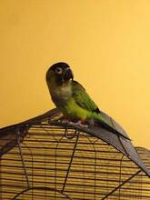 Hand Tame Nanday Conure - Great Pet! Hoppers Crossing Wyndham Area Preview