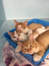 Male and Female Ginger Kittens Kanimbla Lithgow Area Preview