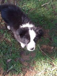 Border collie pups Coonabarabran Warrumbungle Area Preview