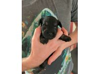 Black Miniature Schnauzer Puppies Pups