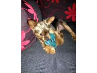 Very sweet home trained Yorkshire Terrier her name is Kiri