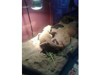 3 year old Bearded Dragon for sale. Quick sale only £60 with full setup