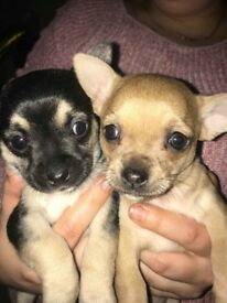 Chihuahua3/4 cross jack Russell for sale