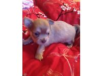 Long Haired Pedigree Chihuahua puppies