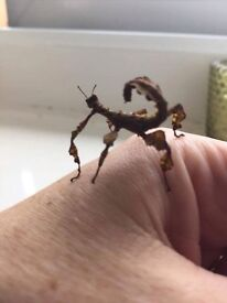 Macleays stick insects