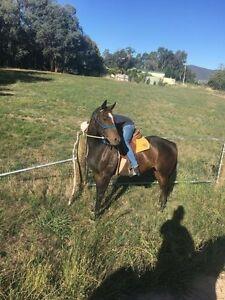 Playful mare need gone ASAP regretful sale Yackandandah Indigo Area Preview