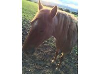 Strawberry roan gelding for sale 15hh