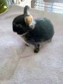 Baby Netherland Dwarf Bunies