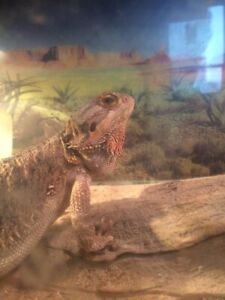 Bearded dragon & accessories