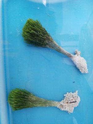1x Shaving Brush Macro Algae- Marine Saltwater -