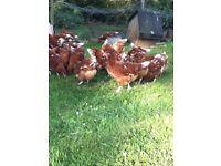 £25 three ISA brown hens chickens