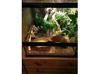 2 corn snakes & vivs for sale. Bangor