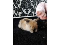 2 baby lion head rabbits