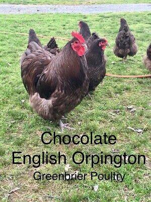 Chocolate English Orpington 12 Fresh Chicken Hatching Eggs Npip Arkansas