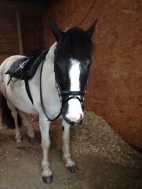 13.3hh coloured Gelding