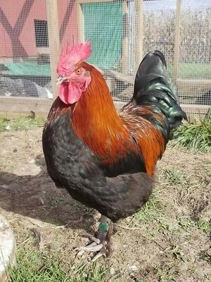 One Dozen. French Black Copper Marans Fertile Hatching Eggs. Breed Standard.