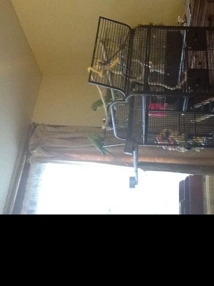 Ringneck Parrot For Sale uk Pair Indian Ringneck Parrots For Sale