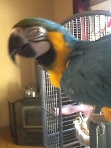 Blue and Gold Macaw Cambridge Kitchener Area image 3