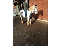 very smart family cob mare safe and sound