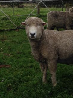 White Corriedale Rams for sale- GOOD breeders and lawn mowers! Langwarrin South Frankston Area Preview
