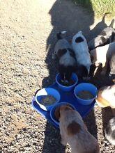 Blue heeler puppy's $250 Royalla Queanbeyan Area Preview