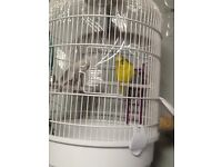 2 budgies for sale one yellow and the other is white