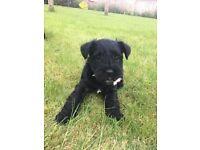 Miniature Schnauzer Top Pedigree Puppies for sale