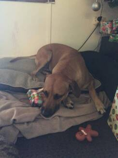 Missing dog - Lulu. Female Ridgeback. Ferny hills area, Brisbane.