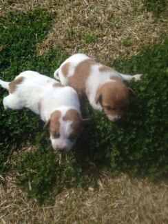 Jack Russell puppies  Horsley Park Fairfield Area Preview