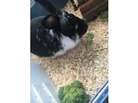 2yr old male rabbit looking for loving home