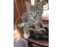 Bengal X Kitten (Girl)