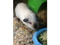 Guinea pig looking for new home