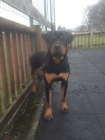 Pedigree German Rottweiler