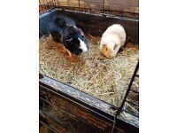 Bonded Guinea Pigs
