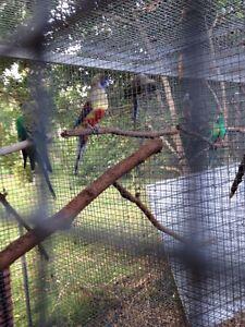 Blue Bonnet breeding pair Yandina Creek Noosa Area Preview