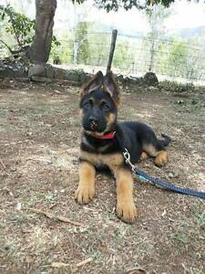 German Shepherd Purebred Pups, Straight Back Smart Working Lines Belmont Brisbane South East Preview