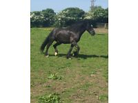 15.2hh dale gelding for part Loan only