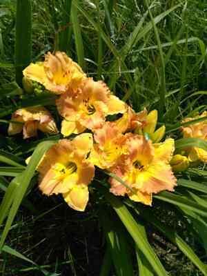 Daylily Bulb (BEAUTIFUL TWO TONE PEACH & YELLOW DAYLILY FAN TUBER BULB FLOWERS )