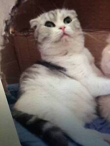 looking for lost scottish cat union st sunshine 26/02/2017 Sunshine Brimbank Area Preview