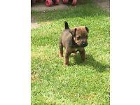 patterdale x lakeland terrier pups