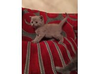 GCCF Pedigree British Shorthair kittens