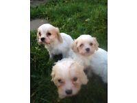Cavachon puppies ie Cavalier Ling Charles x Bichon Frise