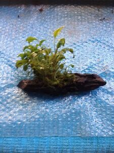 Anubias plant on driftwood Annandale Leichhardt Area Preview