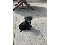 10 week old Cavapoo puppy