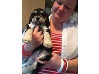 ***Gorgeous Cockapoo Puppies!***