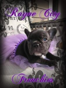 CKC Registered French Bulldog Puppies! Males & Females!